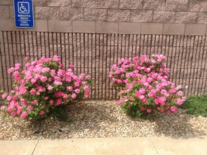 Roses at the VF  Factory Outlet Mall, Lebanon, MO